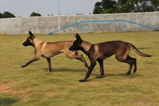出售幼年马犬 福清翔鹏马里努阿犬---福清翔鹏宠物训练学校 福清翔鹏分校 近年来,福建省的宠物文化无论在精福还是物质方面都有了很大的提高,养犬已成为许多人生活的重要内容。更有很多的客户希望能在当地有合适的机构来训练自已的爱犬;这不仅能加强主人与犬的交流,也能使犬的行为更好地符合主人的意愿,配合主人的生活节奏,使犬的习惯适合主人的要求,让养犬有更多的乐趣和最少的烦脑;因此根据福建范围客户的需要;当地同样热爱养犬的事业成功人士钟朝明先生与赵先生合作投资了300多万在福清市三山镇钟厝村购置大面积地皮创建了福建翔