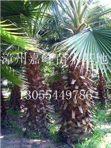 出售老人葵、老公仔椰子、加州葵、丝葵、华盛顿葵、华盛顿棕等