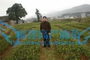新品种果树油茶苗 新品种高产油茶树苗,杂交山茶树苗