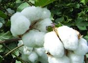 棉花危机重创我国纺织业