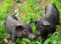 农村淘宝预售团年猪 合伙人参与全程品控