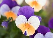 漳州园林花卉之——走进三色堇的世界